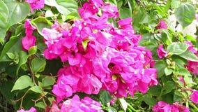 Rosa Bouganvilla blüht (Bouganvilla spectabilis Willd etwas körniges) stock footage