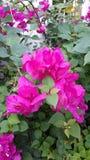 Rosa Bouganvilla, schöne Kletterpflanze Lizenzfreies Stockfoto