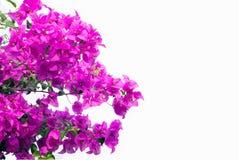 Rosa Bouganvillas lokalisiert auf weißem Hintergrund Stockfotografie
