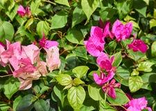 Rosa Bougaville blomma på filial Arkivbild