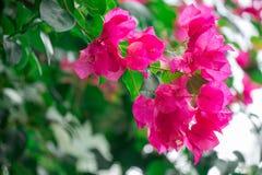 Rosa Bougavillea-Blumen Lizenzfreies Stockfoto