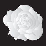 Rosa branca Imagens de Stock