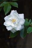 Rosa branca Imagens de Stock Royalty Free