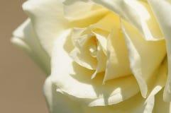 Rosa branca Fotografia de Stock Royalty Free