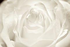 Rosa branca. Fotografia de Stock