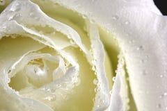 Rosa branca Fotos de Stock Royalty Free