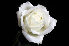 Rosa branca Foto de Stock