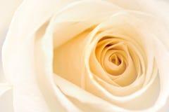 Rosa branca Imagem de Stock