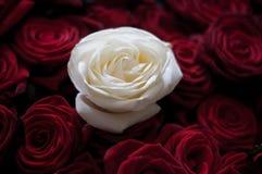 Rosa branca bonita entre rosas vermelhas Fotos de Stock Royalty Free