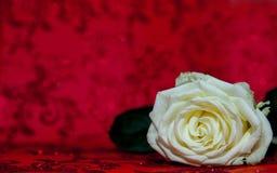 Rosa branca com um lugar para o texto Copie o espaço para o texto Molde para o 8 de março, dia do ` s da mãe, dia do ` s do Valen Imagem de Stock