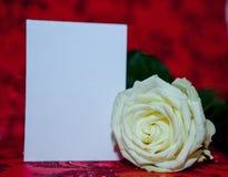 Rosa branca com um risco claro para o texto Copie o espaço para o texto Molde para o 8 de março, dia do ` s da mãe, dia do ` s do Imagens de Stock Royalty Free