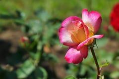 Rosa branca cor-de-rosa bonita no jardim fotos de stock royalty free