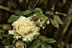 Rosa branca crescente com fim do orvalho acima Fotografia de Stock