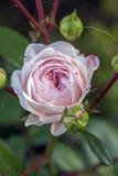 Rosa branca de cima de Fotografia de Stock