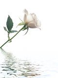 Rosa branca de encontro ao fundo branco com reflectio Foto de Stock Royalty Free