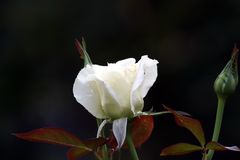 Rosa branca de florescência Foto de Stock