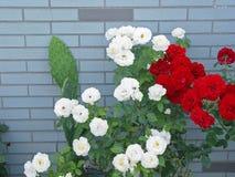 Rosa branca do vermelho Imagem de Stock Royalty Free