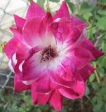 Rosa branca e cor-de-rosa macia, bonita fotos de stock