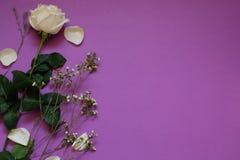 Rosa branca e flores secadas no espaço violeta da cópia do whith do fundo foto de stock royalty free