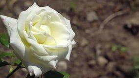 Rosa branca em um ramo Imagens de Stock