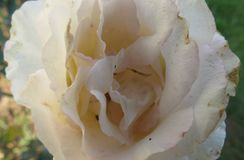 Rosa branca macia, bonita imagens de stock