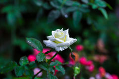 Rosa branca no jardim Fron Tailândia imagem de stock