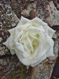 Rosa branca pela parede Fotos de Stock