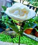 Rosa branca que Spesial alguém gived fotos de stock royalty free