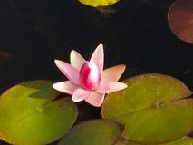 Rosa branco Lotus Flower imagens de stock royalty free