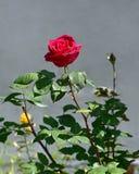 A rosa brilhante do vermelho imagem de stock