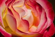 Rosa brillante Fotografie Stock