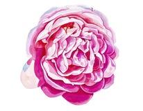 Rosa brillante del rosa aislada en el fondo blanco Fotos de archivo libres de regalías
