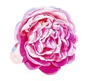 Rosa brillante del rosa aislada en el fondo blanco Imagen de archivo libre de regalías