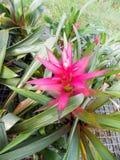 Rosa bromeliablomma i trädgård royaltyfri foto