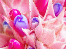 Rosa Bromelieblume Stockfotos