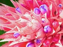 Rosa Bromelieblume Stockbild