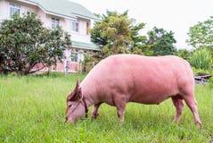 Rosa buffel royaltyfri fotografi