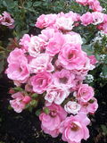Rosa-Bush Imagem de Stock Royalty Free