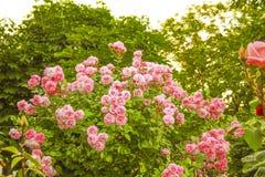 Rosa buskar Royaltyfri Foto