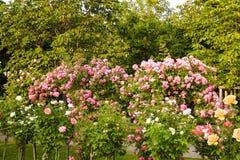 Rosa buskar Royaltyfri Fotografi