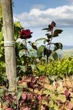 Rosa buskar bredvid vinrankorna i Tuscany Fotografering för Bildbyråer