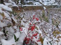 Rosa buskar för hund med röda bär som täckas med snö royaltyfria bilder