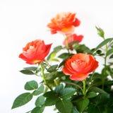 Rosa buske royaltyfria foton