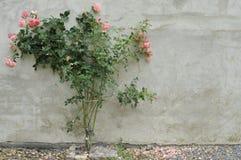 Rosa buske royaltyfri foto