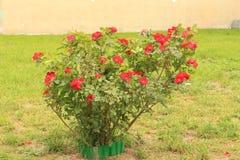 Rosa buske för hund arkivfoto