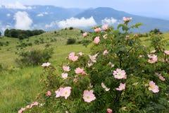 Rosa buske för hund i berg arkivbilder