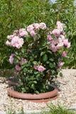 Rosa buske för Rosa teodorata i en rabatt fotoformatlodlinje Royaltyfria Foton