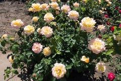 Rosa buske i blom arkivbilder