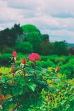 Rosa buske i trädgård arkivbilder