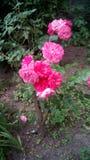 Rosa buske i trädgården Royaltyfri Bild